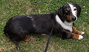 Black and Tan Double dapple smooth-haired miniature dachshund with a blue eye and brown eye