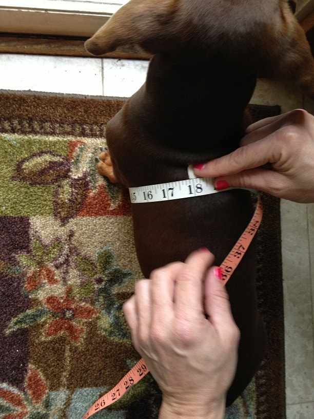 How to measure your dachshund step 2