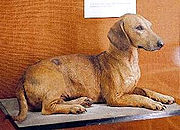 Old-style dachshund showing the longer legs. Walter Rothschild Zoological Museum, Tring, England